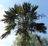 Archonotophoenix alexandrae seeds for sale - last post by PalmatierMeg