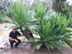 Macrozamia macdonnellii - last post by cycadjungle
