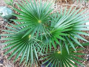 Coccothrinax_borhidiana_crown_01_4_09.jpg