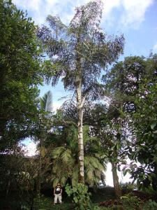 Caryota sp_opt.jpg