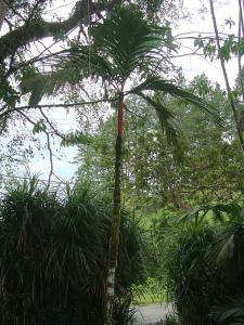 Areca vestiaria single_opt.jpg