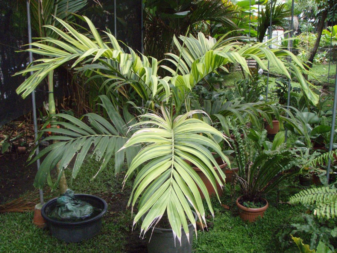 Under the Gbarce shade house - DISCUSSING PALM TREES ... Ruffled Birds Nest Fern