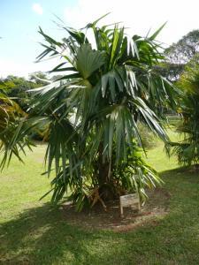 Chelyocarpus chuco 800x600.jpg