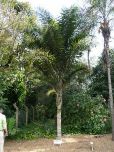 Syagrus picrophylla 800x600.jpg