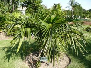 Syagrus schizophylla 800x600.jpg