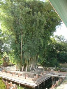 bamboo 800x600.jpg