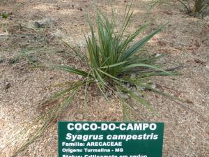 Syagrus campestris 800x600.jpg
