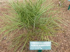 Syagrus graminifolia -2 800x600.jpg