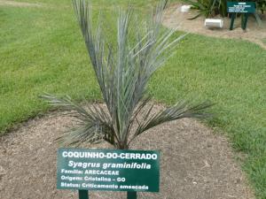 Syagrus graminifolia -glaucous form.jpg