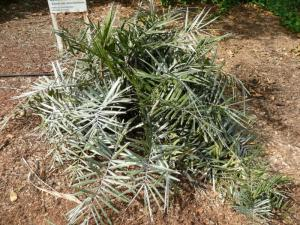 Syagrus microphylla 800x600.jpg