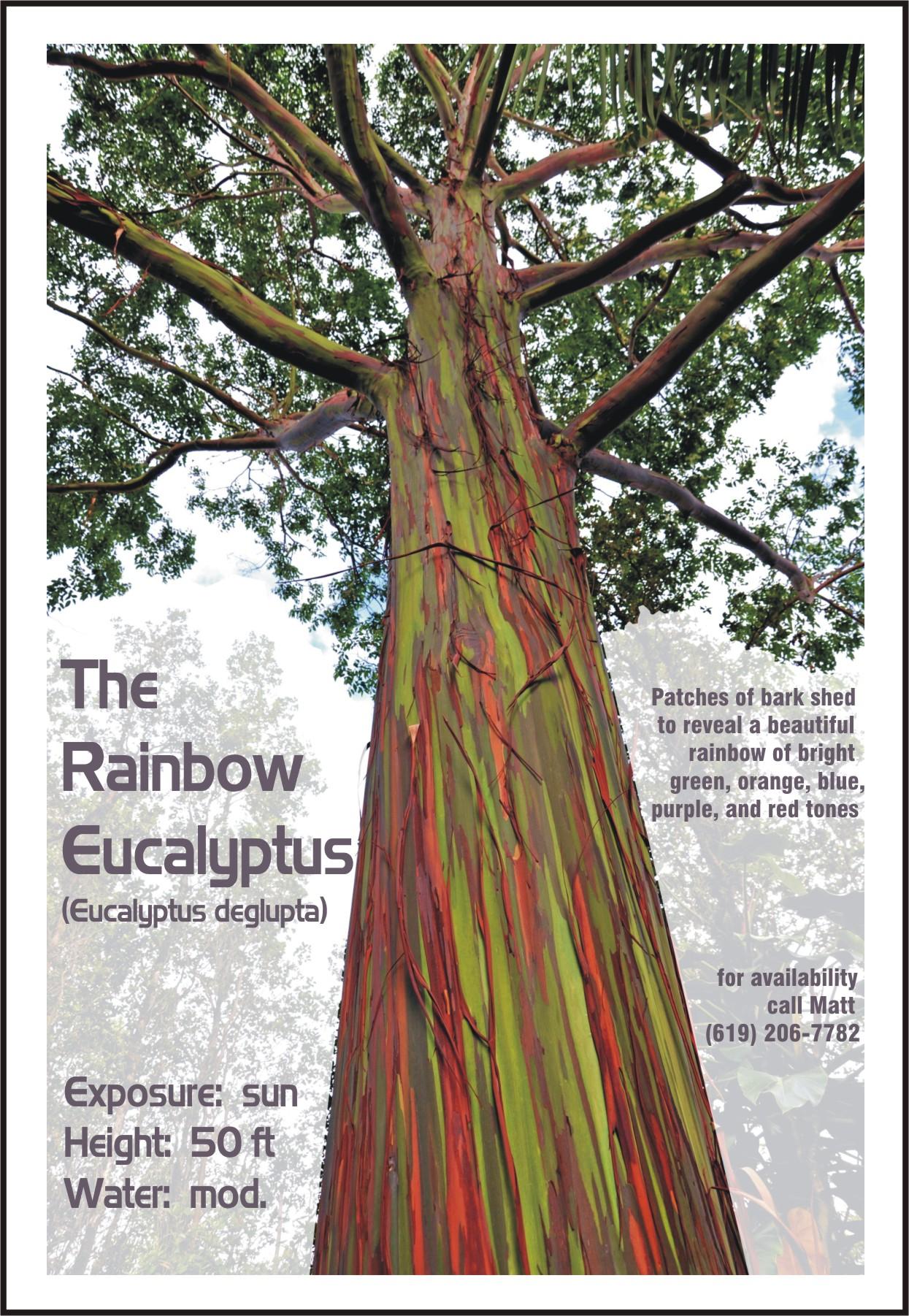 Eucalyptus Deglupta For Sale For Sale Palmtalk