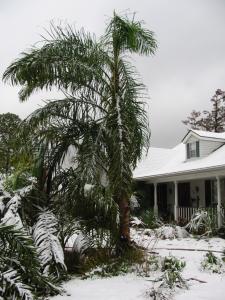 Acrocomia aculeata - 2008-12 snow.jpg