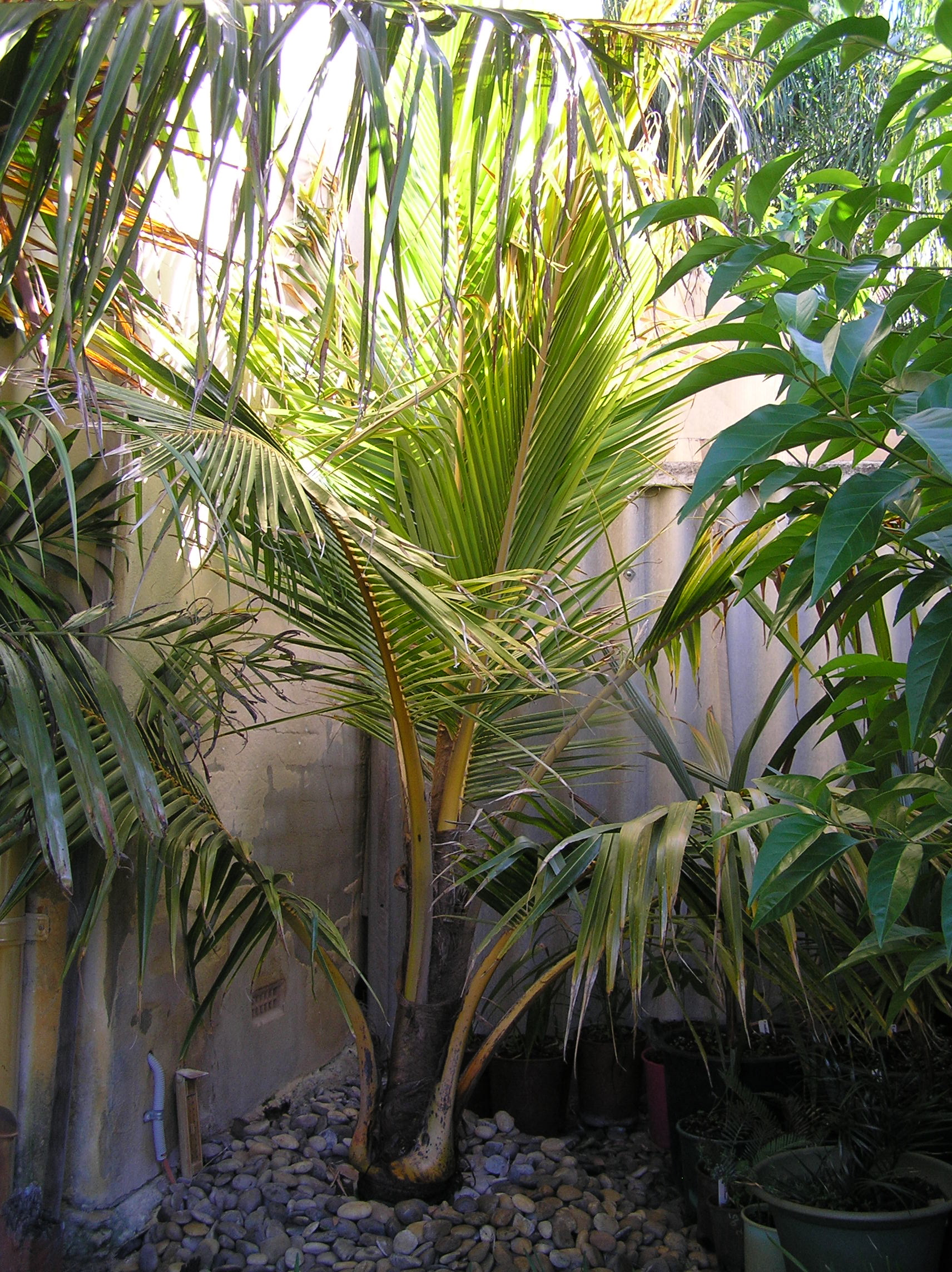 Updates On Coconut Palms In California Discussing Palm