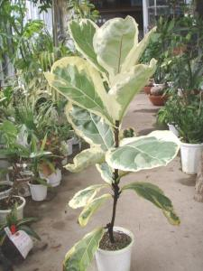 Ficus_Lyrata__Ivonne__Variegated_Pic_from_Japan.jpg
