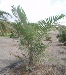 Arenga_pinnata_entera.jpg