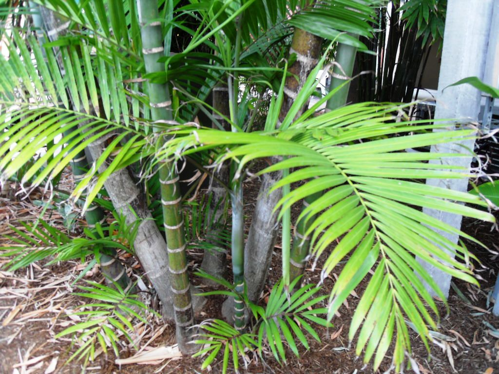 Pinnate Clustering Palm For Id Discussing Palm Trees
