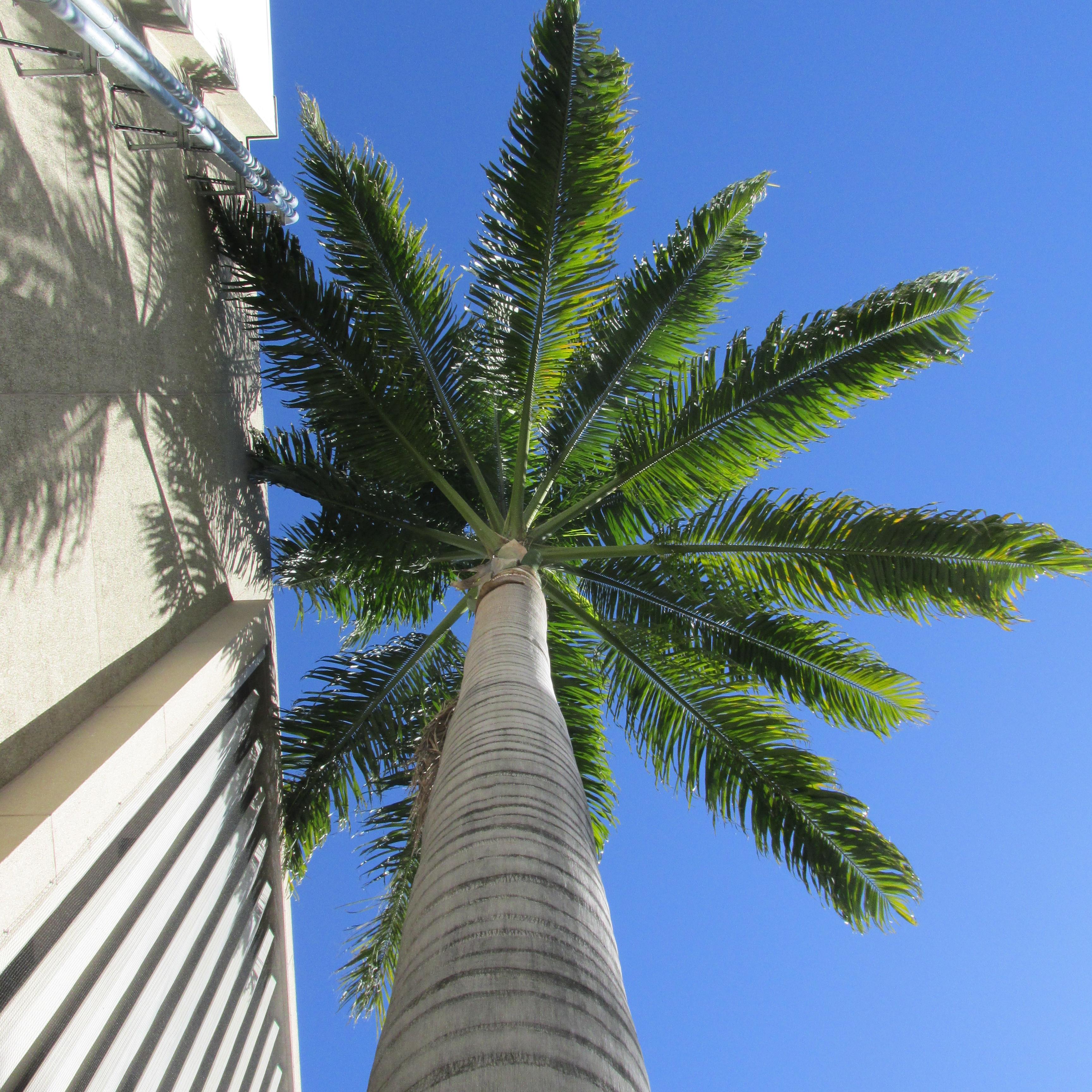 Roystonea oleracea in Santana, California, part II - DISCUSSING PALM ...