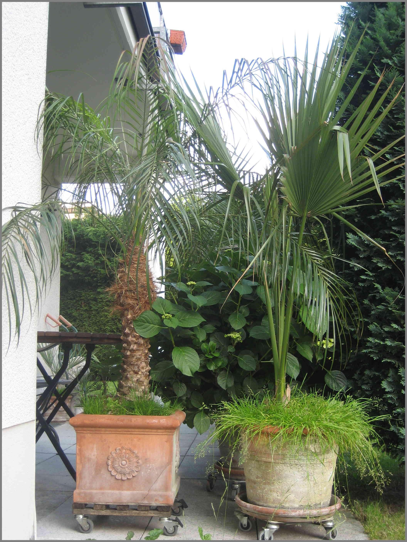 Grow Palms In Pot Outdoor Palms In Pots Palmtalk