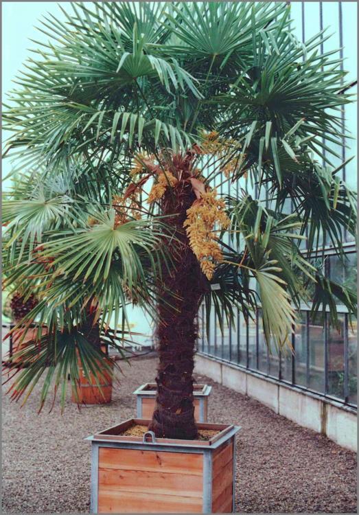 56c9c81608077_Trachycarpusfortunei1987-0