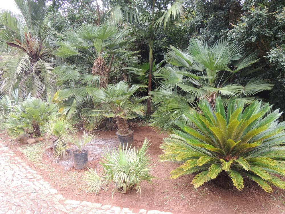 trachycarpus fortunei in zones 9 and warmer cold hardy palms palmtalk. Black Bedroom Furniture Sets. Home Design Ideas