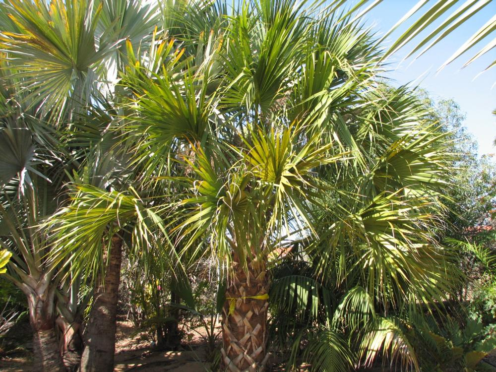 Sabal Palmetto In California Discussing Palm Trees
