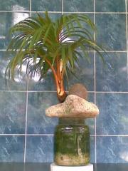 Hydrophonic Coco Bonsai