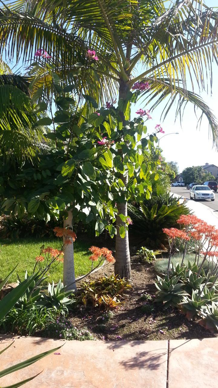 bauhinia blakeana hong kong orchid tree tropical looking