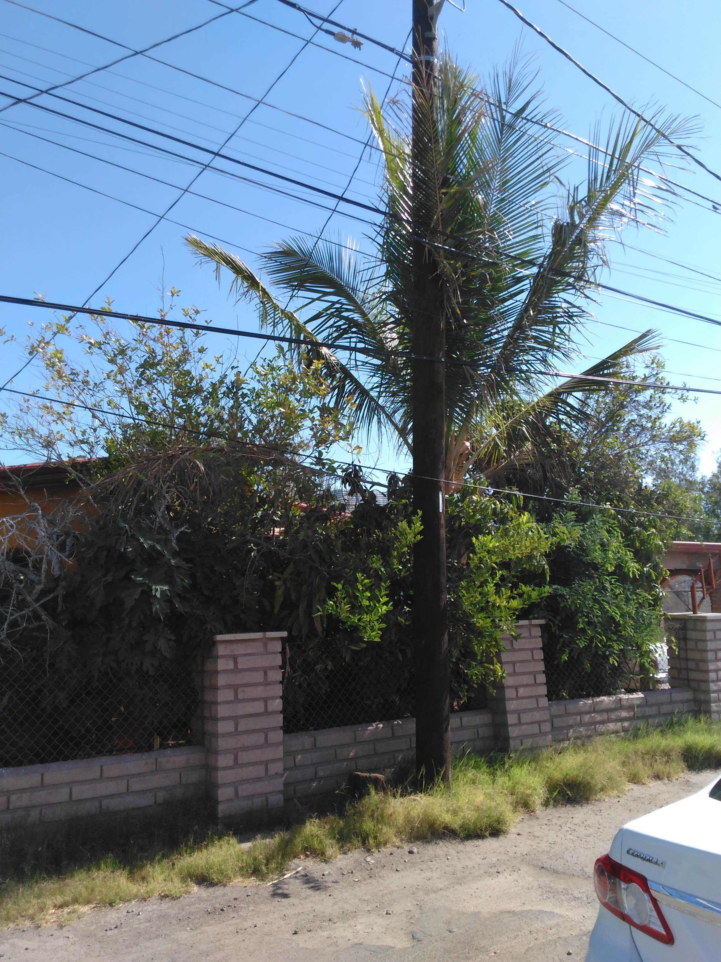 Coconut Palm In Mexicali Baja California Discussing