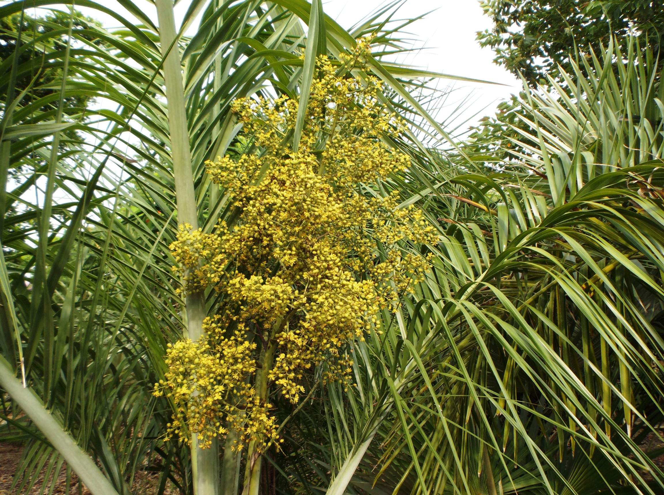 Pseudophoenix Sargentii Flowering Discussing Palm Trees Worldwide