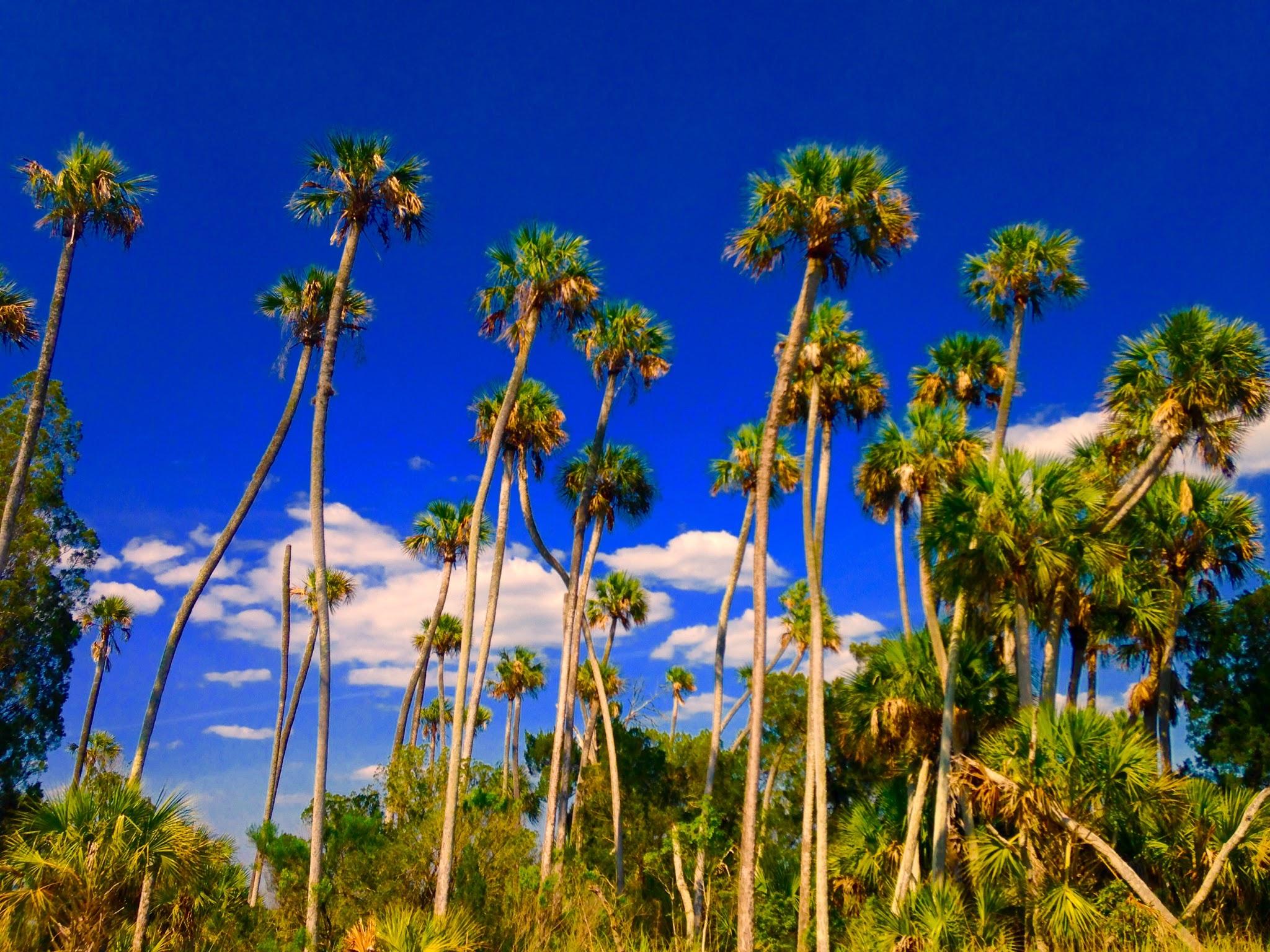 entracing palm tree type house plant. 579b69565d412 100palms jpg e2c7d3de3cad4 Florida vs California Palm trees  DISCUSSING PALM TREES WORLDWIDE