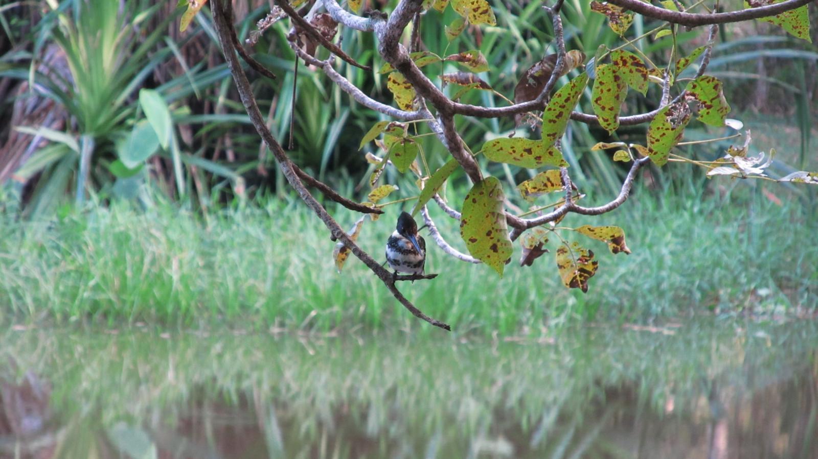 Green Kingfisher.JPG