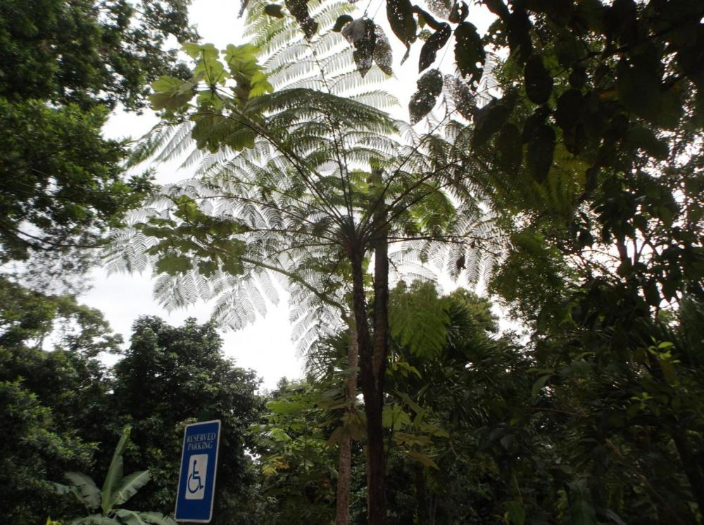 587557df9a9c1_TreeFern0312-8-16.thumb.JP