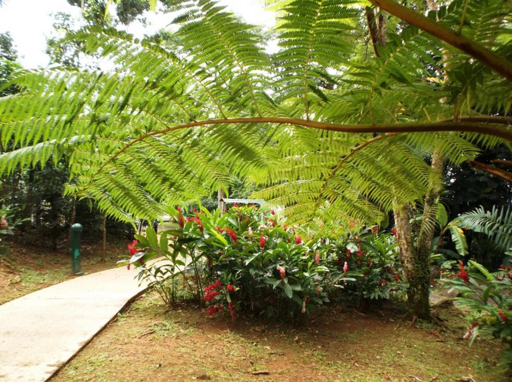 587558ea0d95b_TreeFernnredginger0112-8-1