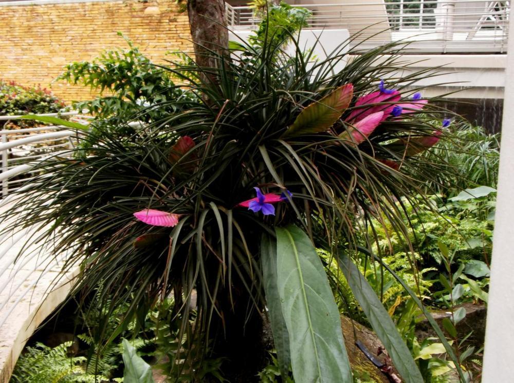 58755b796c7ed_Bromeliadwpurpleflowers011