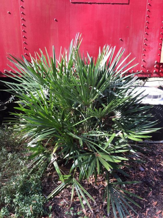 Sabal Palmetto In Zone 7b Cold Hardy Palms Palmtalk