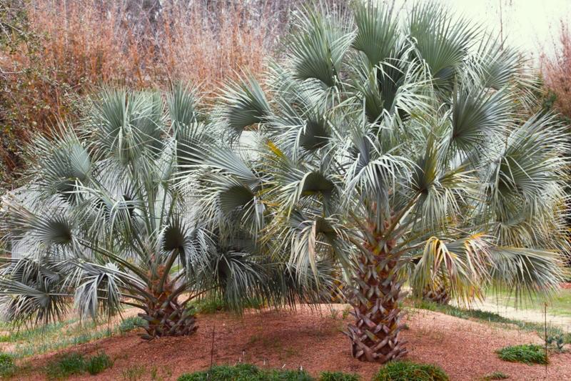 Sabaluresana_Peckerwood_Garden.jpg