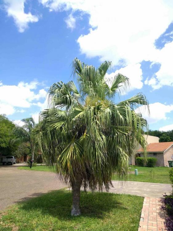 palm habit 1.jpg