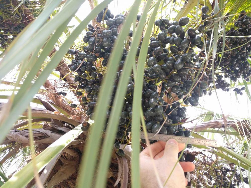 palm drupe cluster 1.jpg