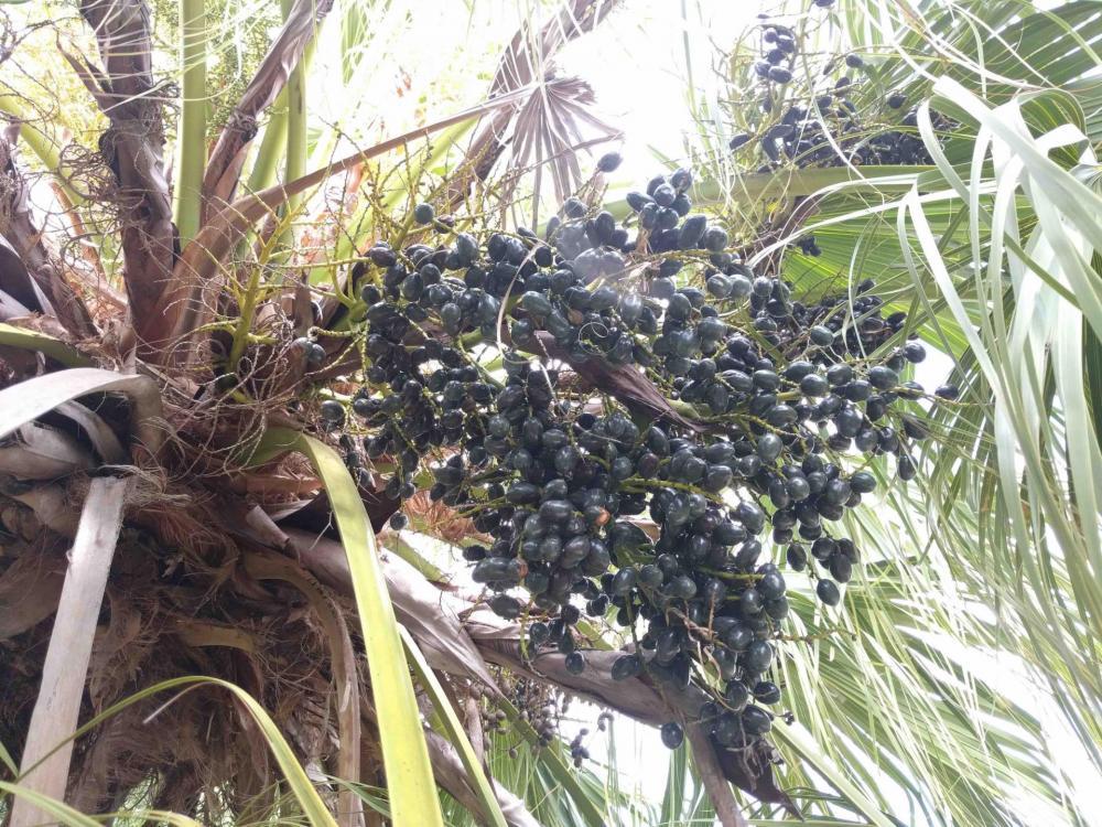 palm drupe cluster 2.jpg