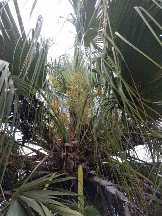 palm inflorescence 1.jpg