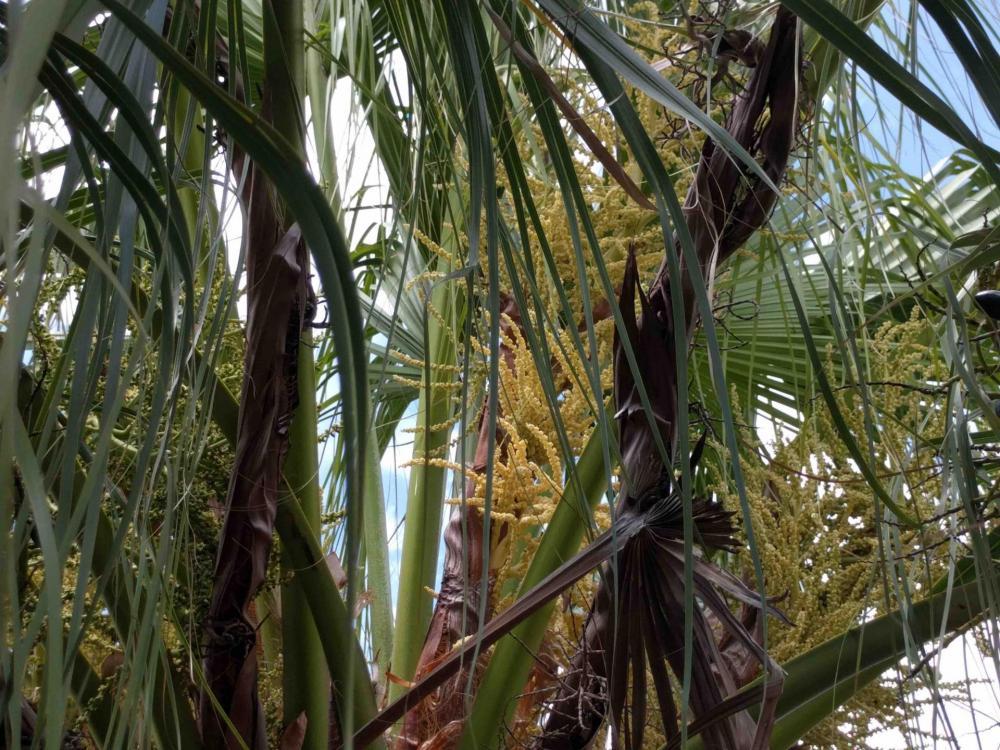 palm inflorescence 2.jpg
