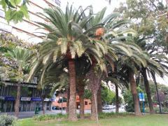 Alicante Palms
