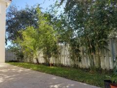 Bambusa Textilis Gracilis (Graceful Bamboo)