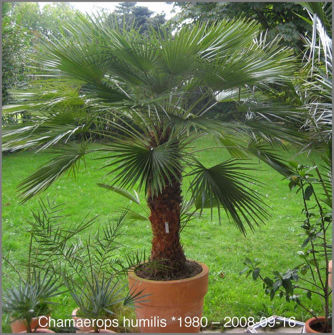 Эмеральд пальм цветок фото