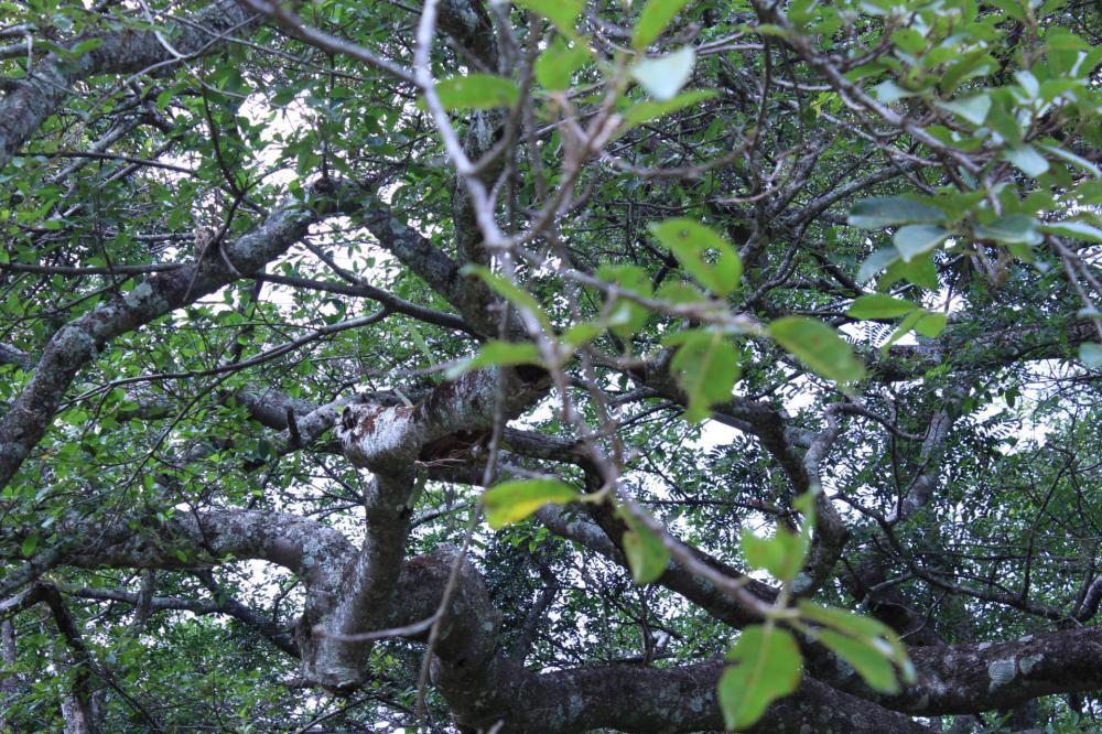 5968b25ea5b54_Ficus011.thumb.JPG.b3bf40f