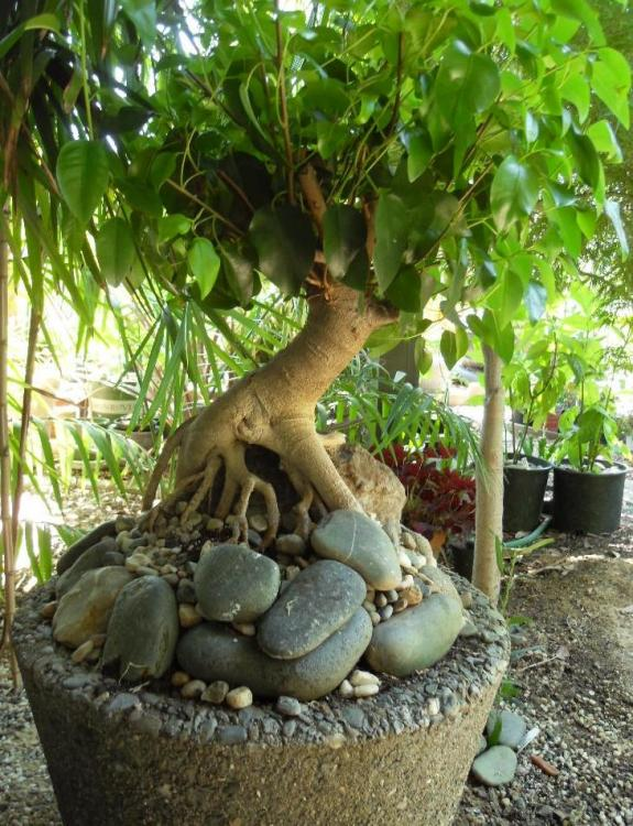 Ficus_bonsai.jpg