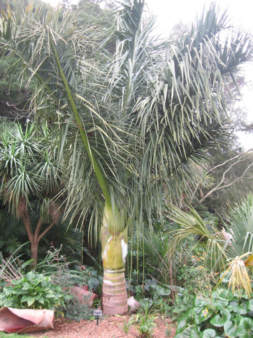 Dypsis decipiens upright form - DISCUSSING PALM TREES WORLDWIDE ...