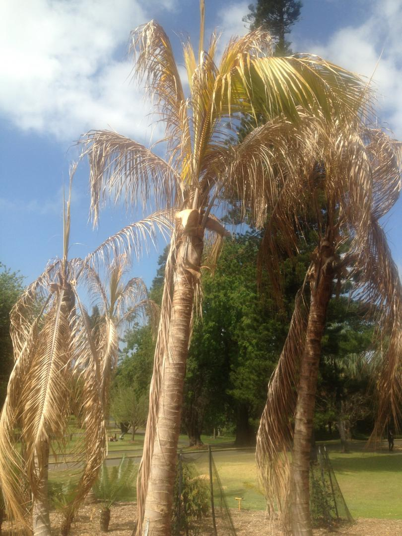 Coconut Palms in Sydney Botanical Gardens - DISCUSSING PALM TREES ...