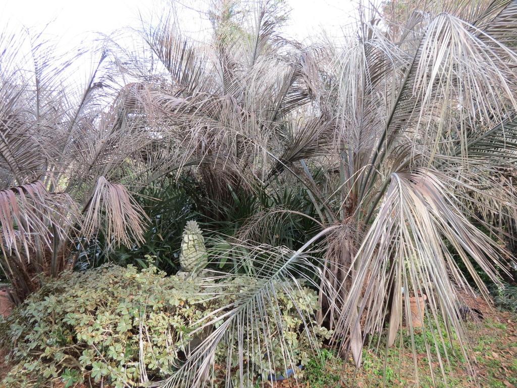 Palm freeze damage Jan 2018 001.JPG