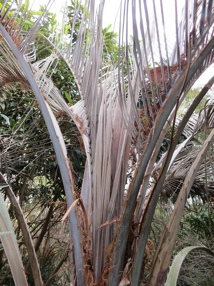 Palm freeze damage Jan 2018 003.JPG